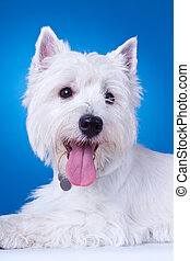 closeup picture of a panting westie , standing against blue...