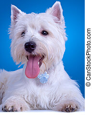 panting westie - closeup picture of a panting westie ,...