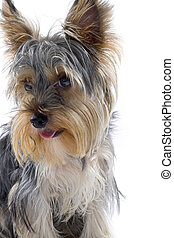 closeup picture of a yorkshire terrier puppy with mouth open