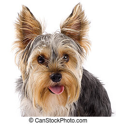 closeup picture of a yorkshire terrier with mouth open