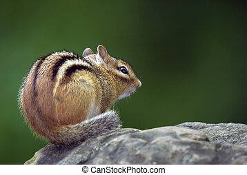 Closeup picture of an Eastern Chipmunk on a rock