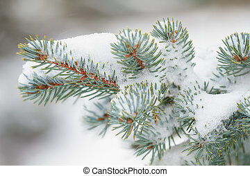 Closeup pine branch in winter