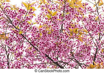 closeup pink cherry flowers