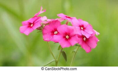 Closeup pink flower on breeze