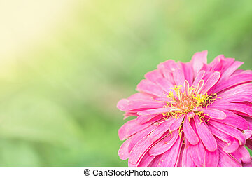 Closeup pink zinnia flower on blurred background