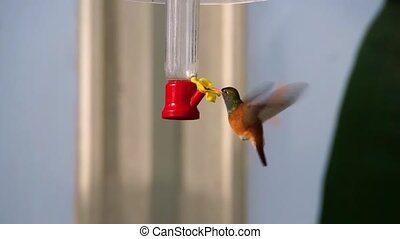 closeup poratrait of a amazilia humming bird drinking nectar, popular and small tropical bird specie from America