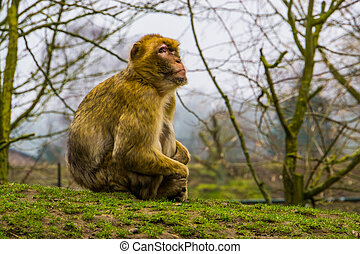 closeup portrait of a barbary macaque, Endangered animal specie from Africa, monkey sitting in the grass