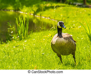 closeup portrait of a canada goose standing in the grass at the water side, common bird specie from america