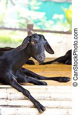 Closeup portrait of a goat.