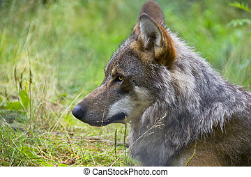 Beautiful closeup profile portrait of a swedish gray wolf lying in the grass
