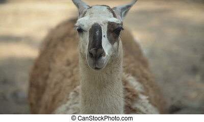 portrait of a llama looking at the camera