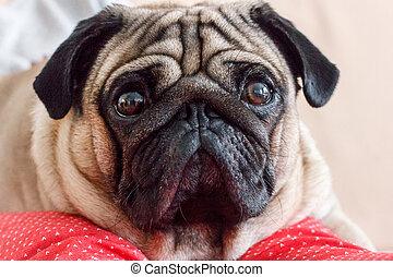 Closeup portrait of a pug dog with big eyes