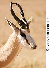 Closeup portrait of a Springbok gazelle in the Kgalagadi