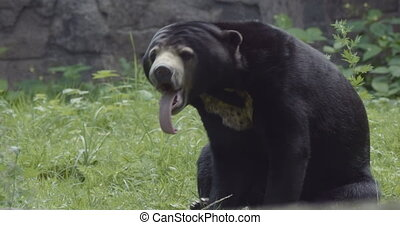 Closeup portrait of a Sun Bear. - Closeup portrait of a Sun...