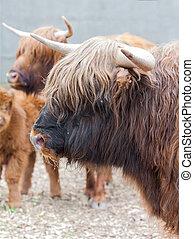 closeup portrait of a yak