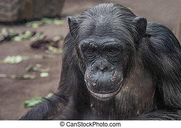 Closeup portrait of curious wondered female adult Chimpanzee