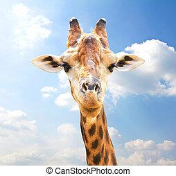 Closeup portrait of giraffe on blue sky background.