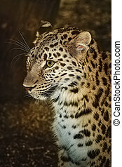 Leopard (Panthera Pardus) - Closeup Portrait of Leopard...
