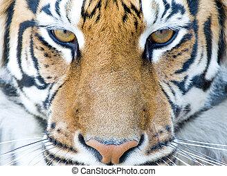 tiger - closeup portrait of tiger`s face