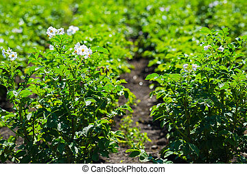 closeup potato field at the sunset