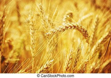 closeup, pszenica, złoty, pole