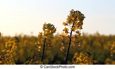 Closeup rape flowers over rapeseed field as background in sunset light