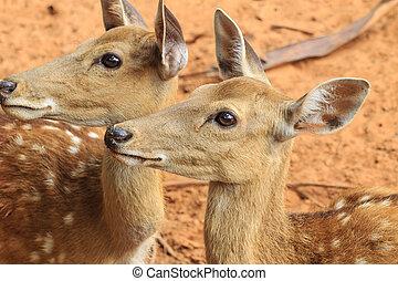 closeup red deer.