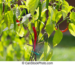 closeup red green hot pepper on the Bush in the garden