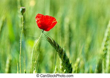 closeup red poppy flower in green field among wheat ears