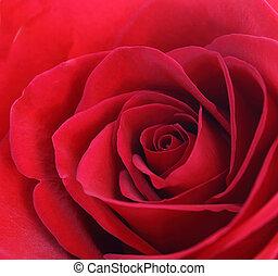 Closeup Rose