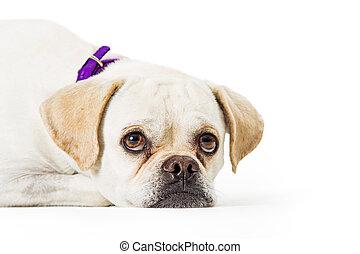 Closeup Sad White Dog Lying Down