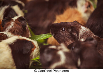 closeup, selective focus on white, red brown guinea pigs...