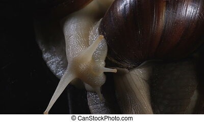 Closeup shooting of snails on black - Video of Achatina...