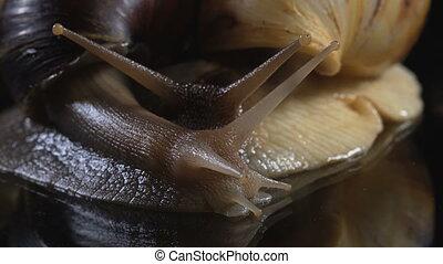 Closeup shooting of snails on dark - Video of Achatina...