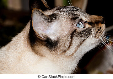 Closeup short hair Thai cat