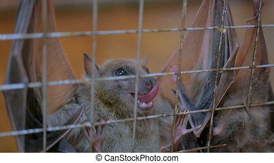fruit bats hanging in cage - Closeup shot fruit bats hanging...