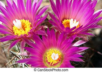 Coryphantha Vivipara - Closeup shot of a beautiful blooming...
