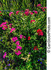 Closeup Shot of a Cluster of Brilliant Red Drummond Phlox Wildflowers in Texas