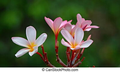 Closeup Shot of a Plumeria Tree's Bold Blossoms. FullHD video