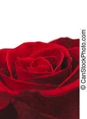 Closeup shot of a single red rose on a white background