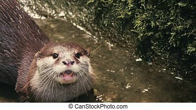 Closeup shot of a swimming Otter.