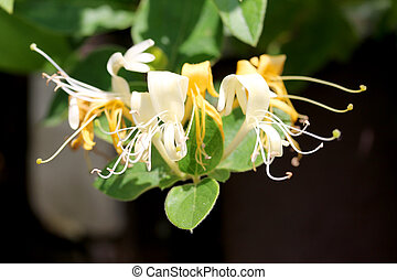 Closeup shot of Honeysuckle flower.