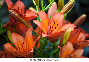 Closeup shot of red tiger lily on black background