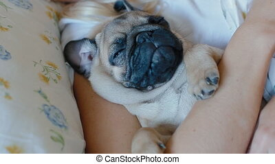 Closeup shot of sleeping puppy pug.