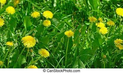 Closeup shot of Taraxacum campylodes field, yellow flower of...