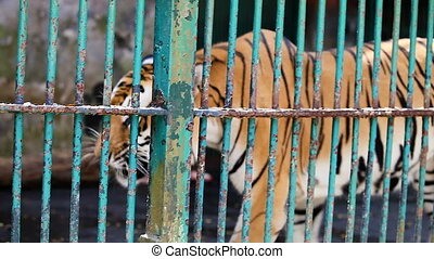 closeup single bengal tiger walks behind the cage lattice