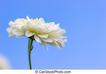 Closeup single white chrysanthemum flower in the blue background of the sky.