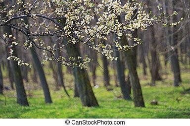 Closeup spring blossoming tree