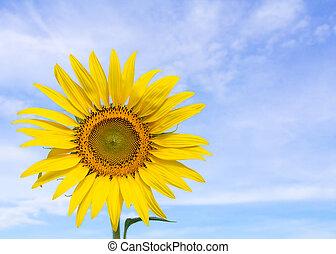 Closeup sunflower and blue sky
