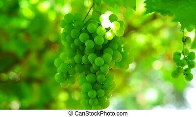 closeup, tas, vert, vignoble, raisins